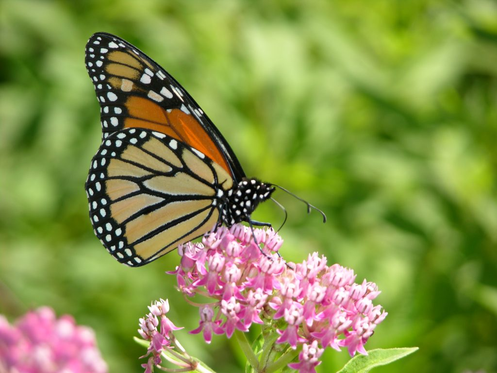 Monarch butterfly, photo by Roger Rittmaster.