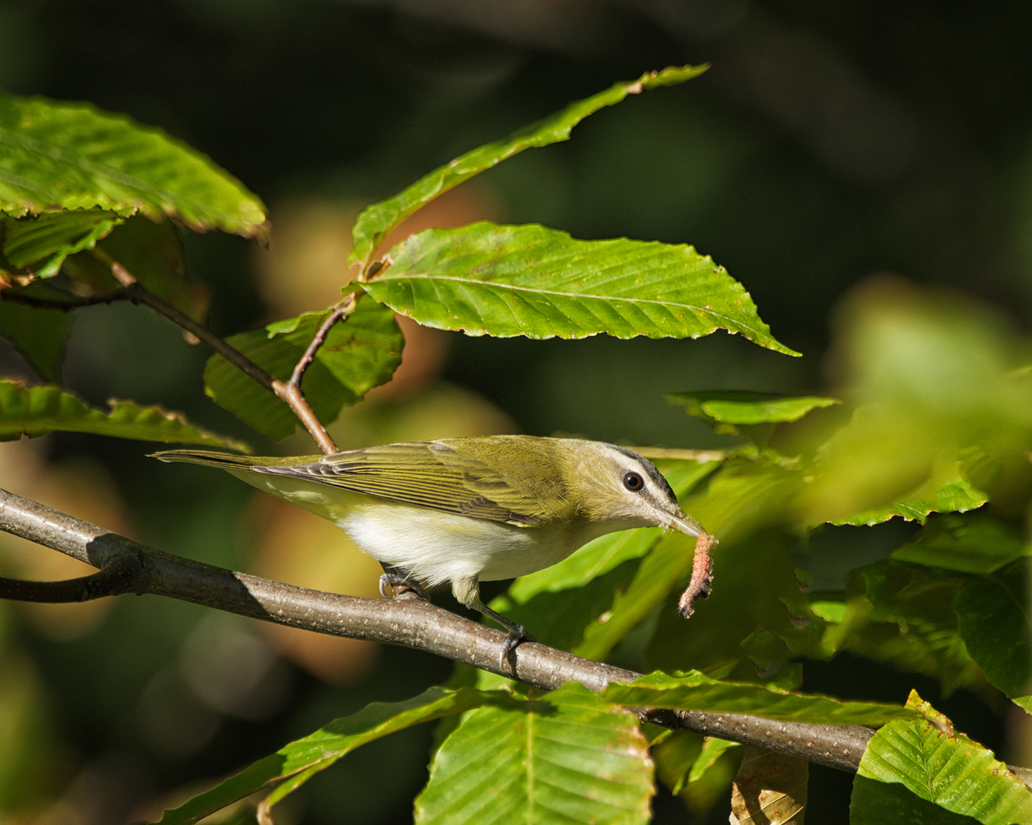 Red-eyed Vireo - Vireo olivaceus 9/25/12