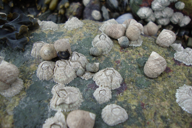 Barnacles and European periwinkles